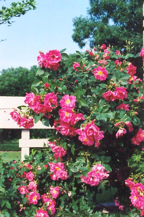 William Baffin Rose Rosa William Baffin in Inver Grove