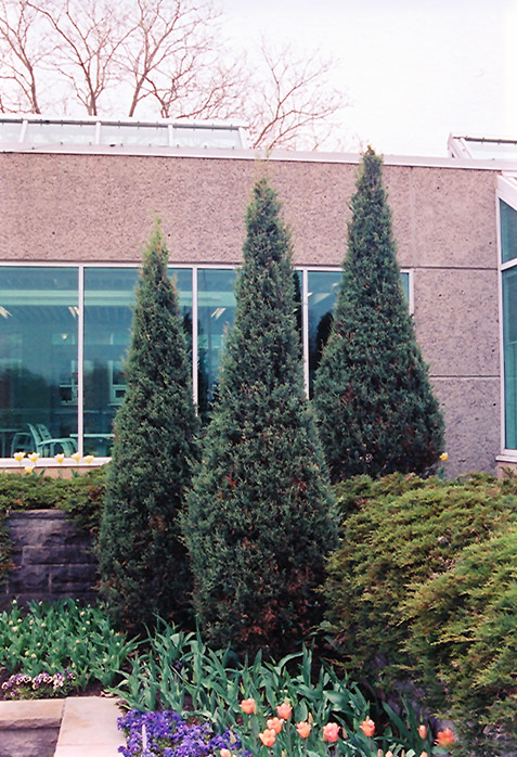 Skyrocket Juniper Juniperus Scopulorum Skyrocket In