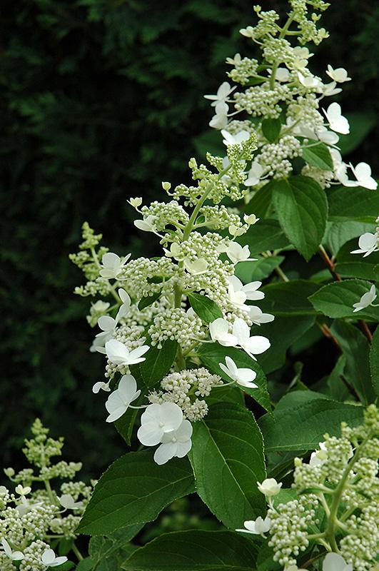 Tardiva Hydrangea Hydrangea Paniculata Tardiva In