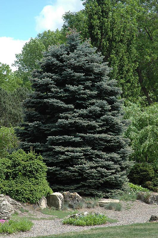 Fat Albert Colorado Blue Spruce Picea pungens Fat Albert