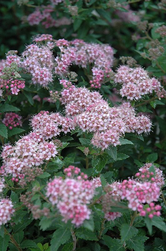 Daphne Spirea Spiraea japonica var alpina in Inver Grove Heights Minnesota MN at Gertens