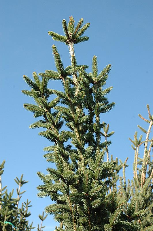 Cupressina Norway Spruce Picea Abies Cupressina In