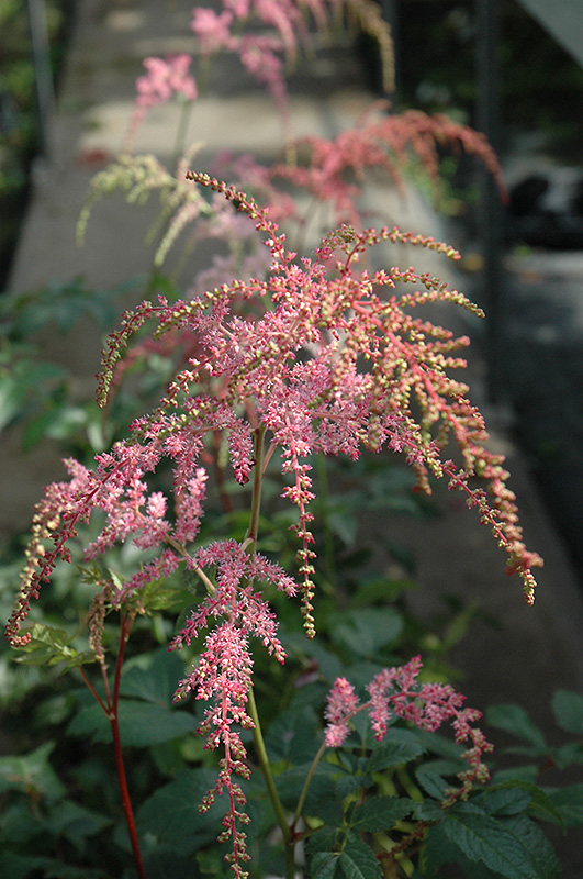 Ostrich Plume Astilbe Astilbe x arendsii Ostrich Plume