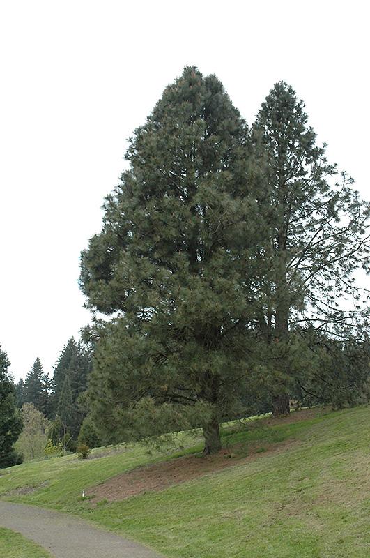 Ponderosa Pine Pinus Ponderosa In Inver Grove Heights