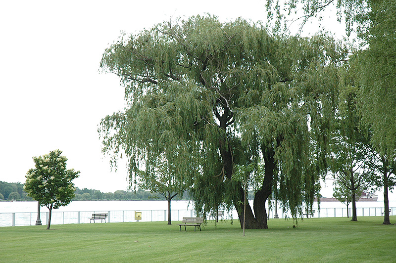 Niobe Golden Weeping Willow Salix alba Niobe in Inver Grove Heights Minnesota MN at Gertens
