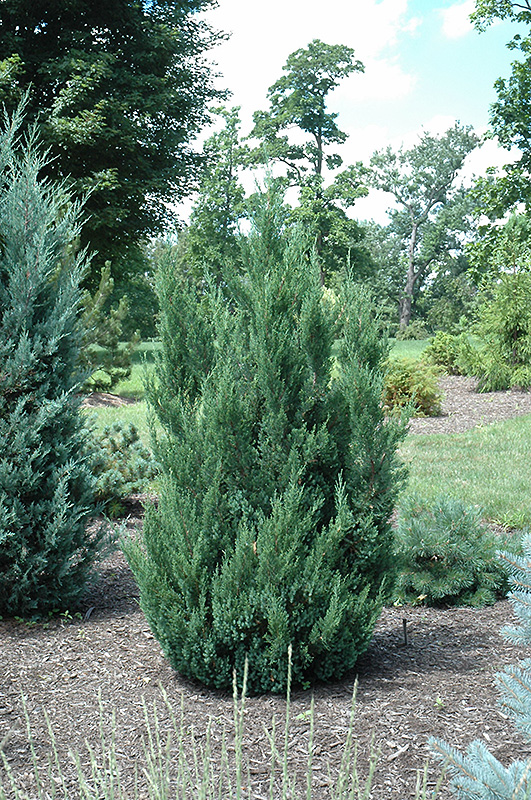 Blue Point Juniper Juniperus chinensis Blue Point in Inver Grove Heights Minnesota MN at