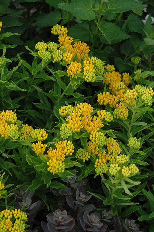 Hello Yellow Milkweed Asclepias Tuberosa Hello Yellow