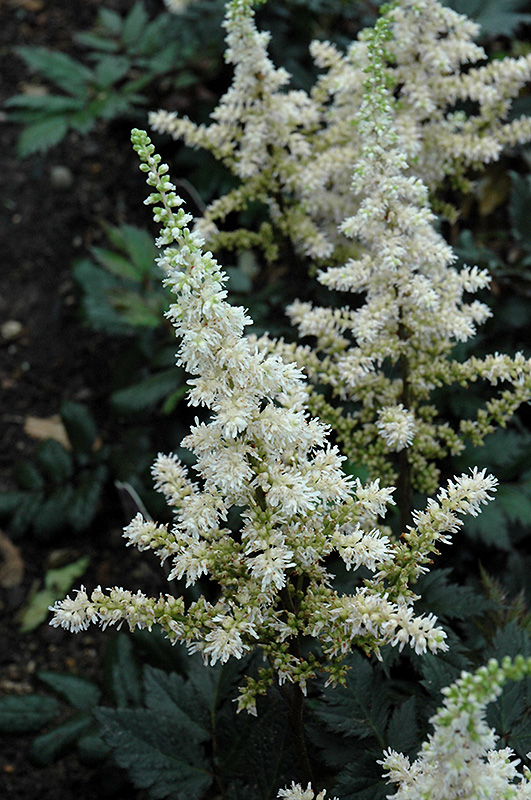 Visions In White Astilbe Astilbe Chinensis Visions In