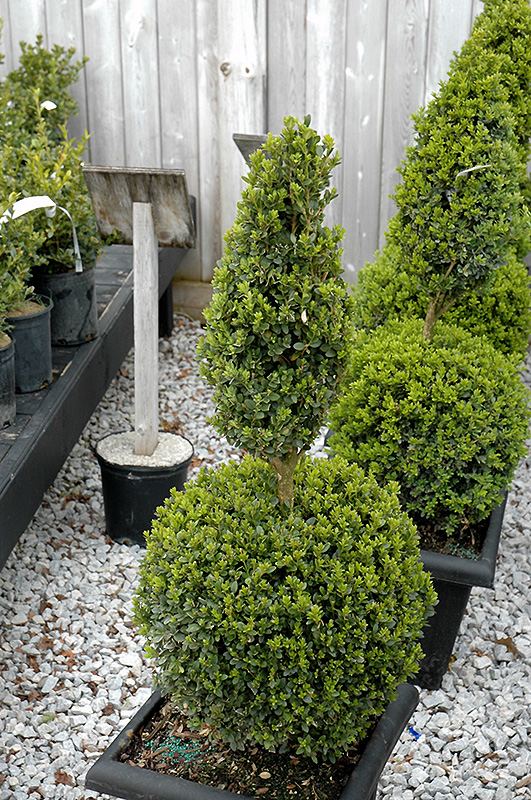 Green Mountain Boxwood poodle form Buxus 39Green