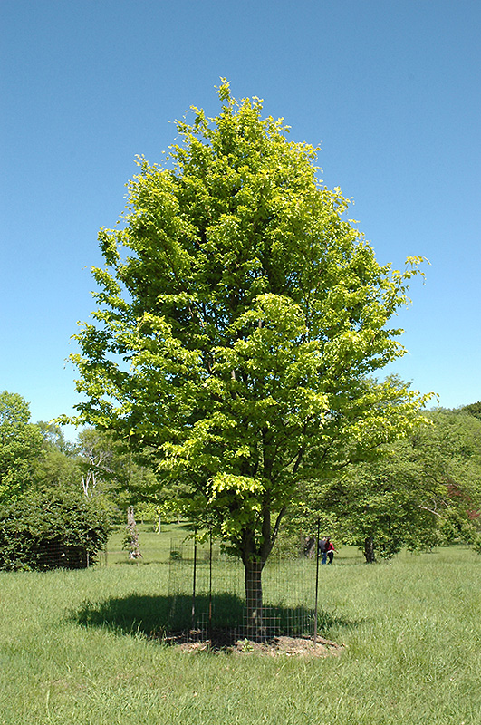 Rohan Gold Beech Fagus sylvatica Rohan Gold in Long