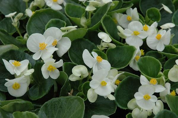prelude white begonia