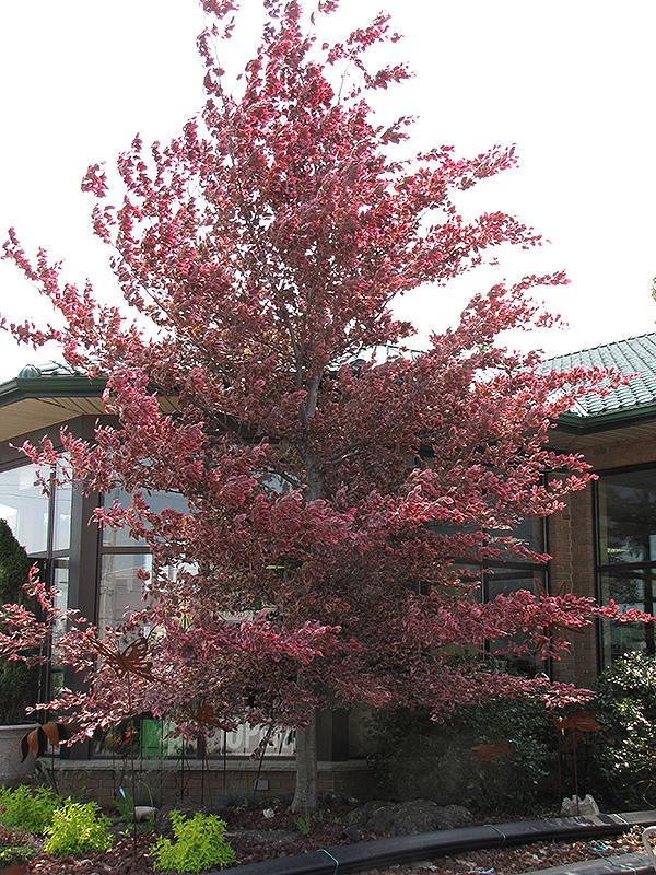 Tricolor Beech Fagus sylvatica Roseomarginata in Long Island Westbury Nassau County Jericho