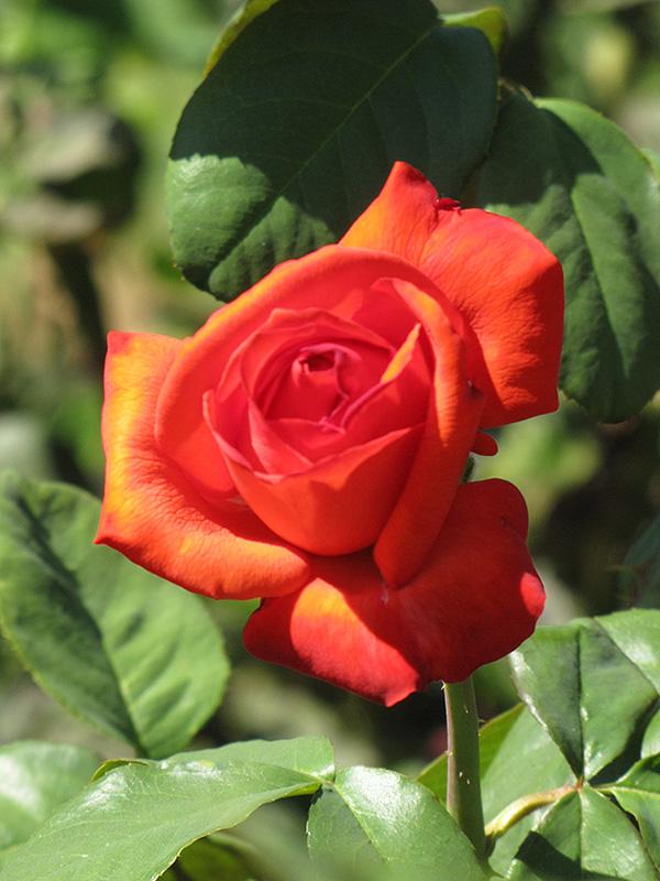 Bing Crosby Rose Rosa Bing Crosby in Long Island