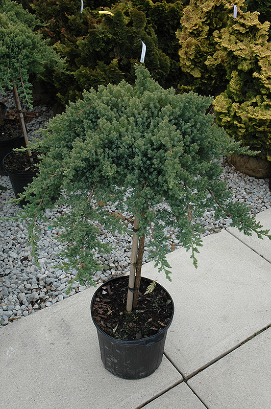 dwarf japanese garden juniper tree