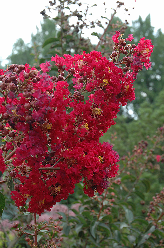 Arapaho Crapemyrtle Lagerstroemia Arapaho in Long