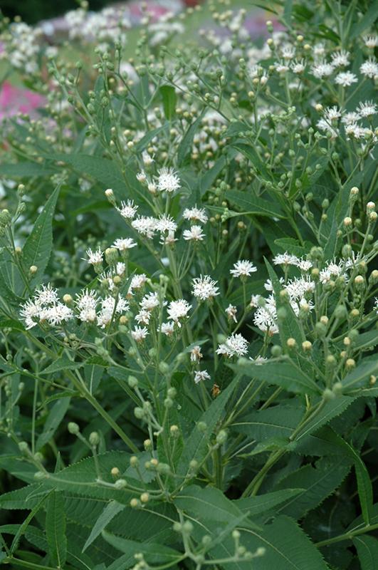 White Lightning Ironweed Vernonia Noveboracensis White