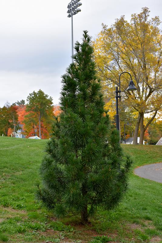 Wintergreen Umbrella Pine Sciadopitys Verticillata Wintergreen In Long Island Westbury