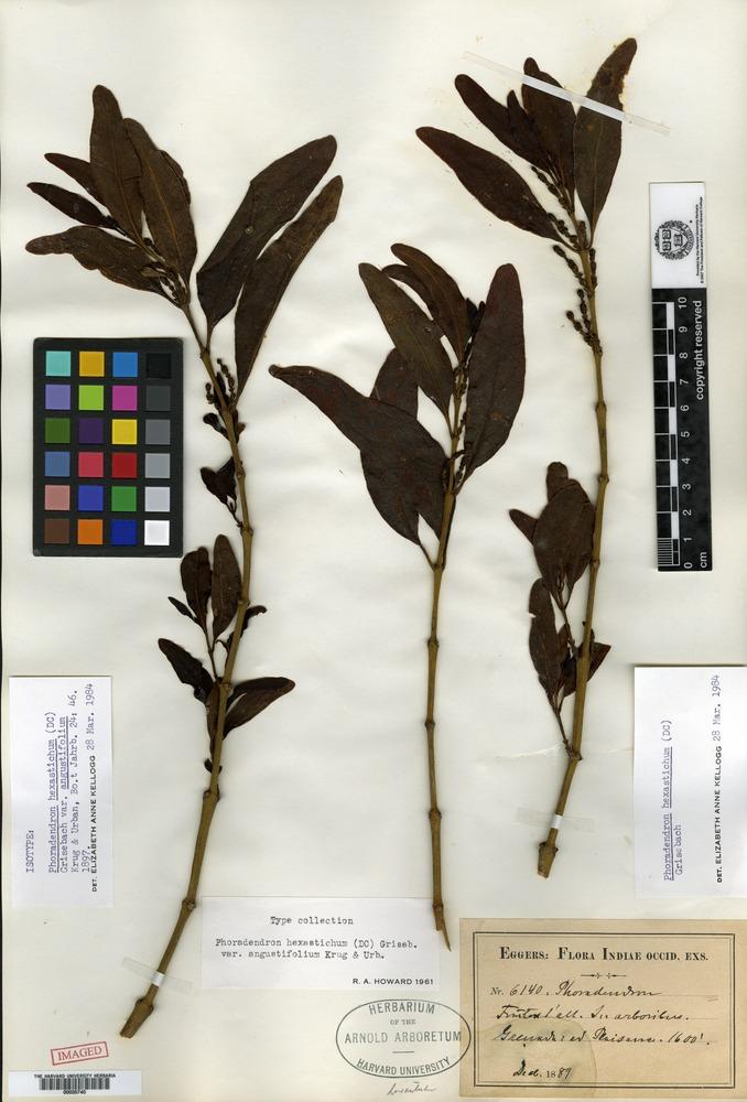 Isotype of Phoradendron hexastichum (de Candolle) Grisebach var. angustifolium Krug & Urban [family LORANTHACEAE]