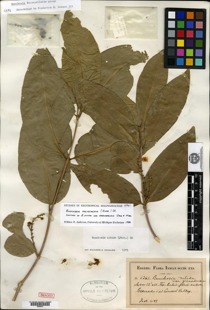 Syntype of Bunchosia nitida (Jacquin) de Candolle var. grenadensis Urban & Niedenzu [family MALPIGHIACEAE]