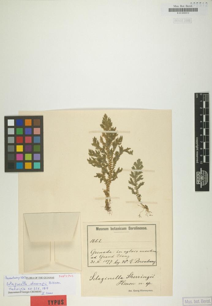 Syntype of Selaginella sherringii Hieron. [family SELAGINELLACEAE]