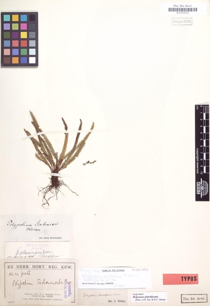 Syntype of Polypodium sintenisii Hieron. [family POLYPODIACEAE]