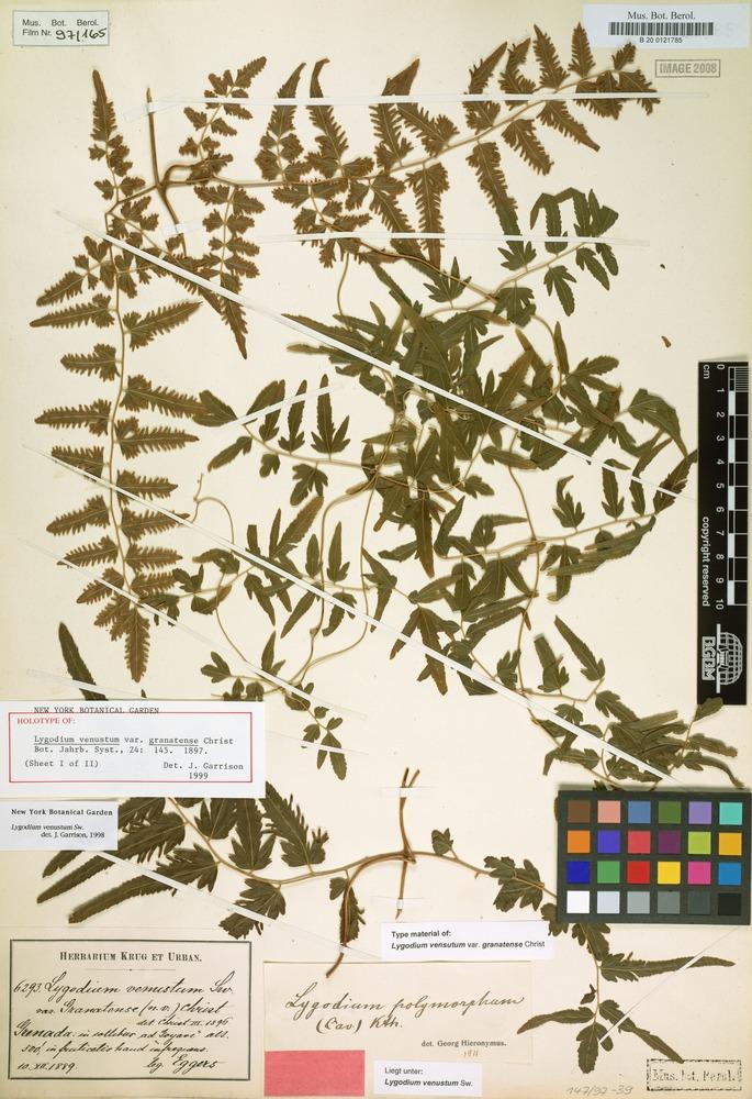 Holotype of Lygodium venustum var. granatense Christ [family SCHIZAEACEAE]