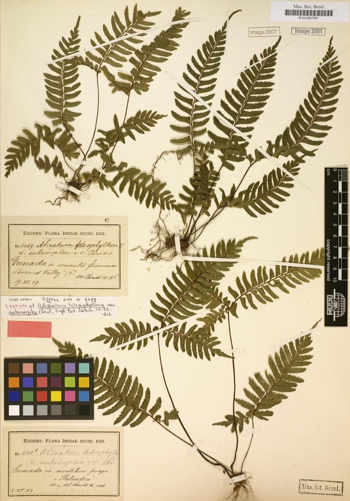 Syntype of Adiantum tetraphyllum var. subsimplex Christ [family POLYPODIACEAE]