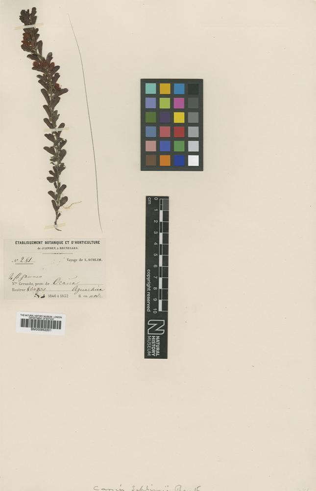 Type of Cassia schlimii Benth. [family LEGUMINOSAE]