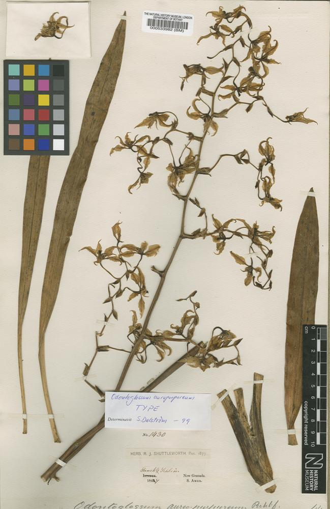 Type of Odontoglossum auropurpureum Rchb.f. [family ORCHIDACEAE]