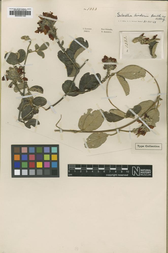 Type of Galactia lindenii Benth. ex Killip [family LEGUMINOSAE]