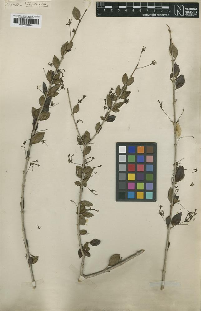 Type? of Ixora fasciculata Sw. [family RUBIACEAE]