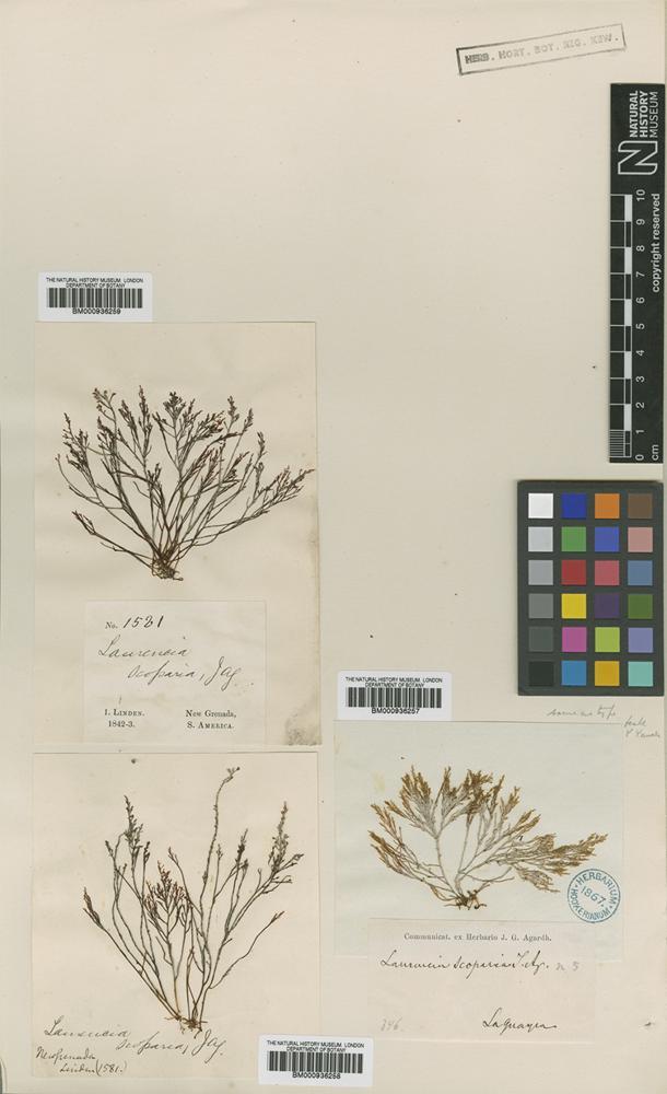 Syntype of Laurencia scoparia J.Agardh [family RHODOMELACEAE]