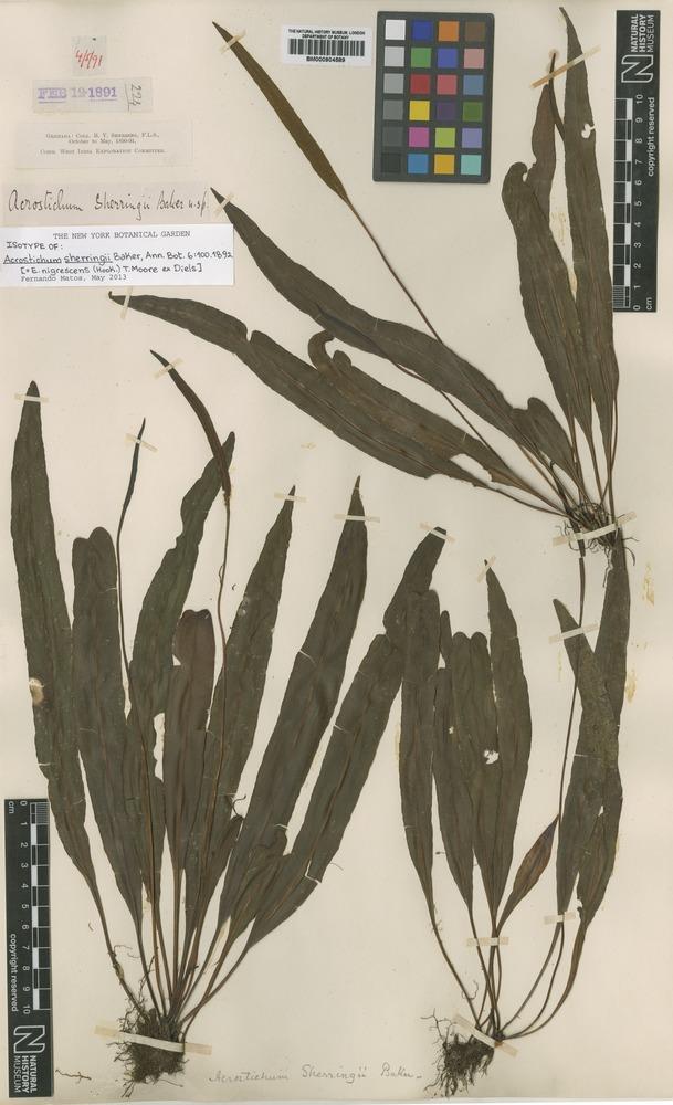 Isotype of Acrostichum sherringii Baker [family ACROSTICHACEAE]