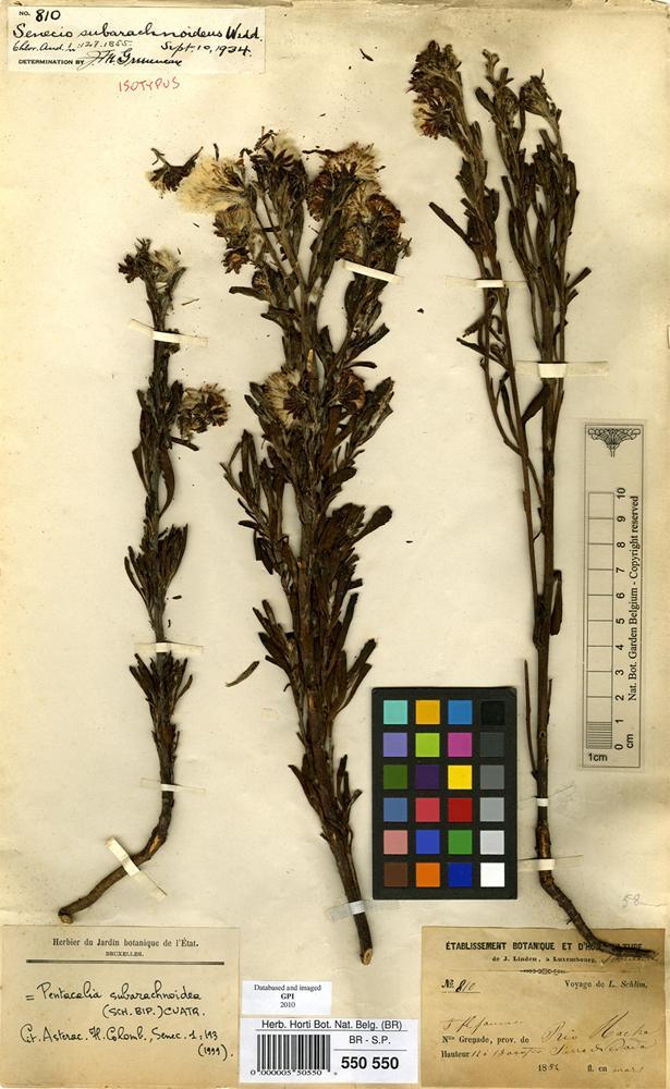 Isotype of Senecio subarchnoideus WEdd. [family COMPOSITAE]