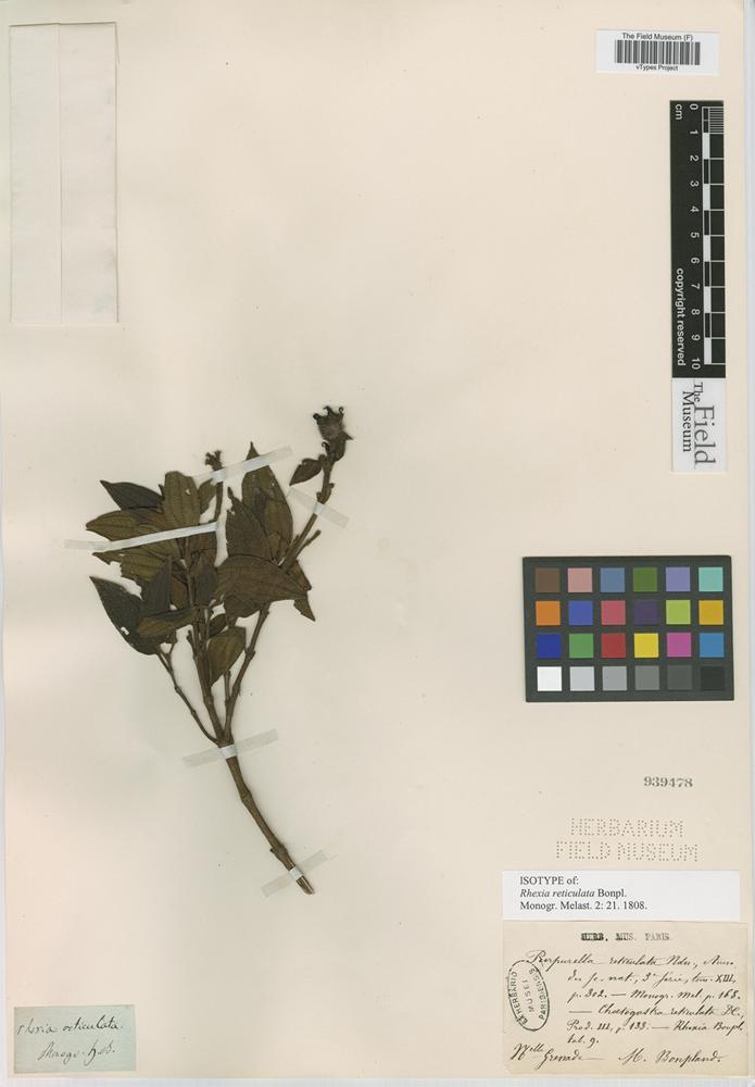 Isotype of Rhexia reticulata Bonpl. [family MELASTOMATACEAE]