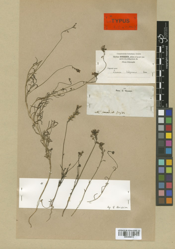 Lectotype of Linaria salzmannii Boiss. [family SCROPHULARIACEAE]
