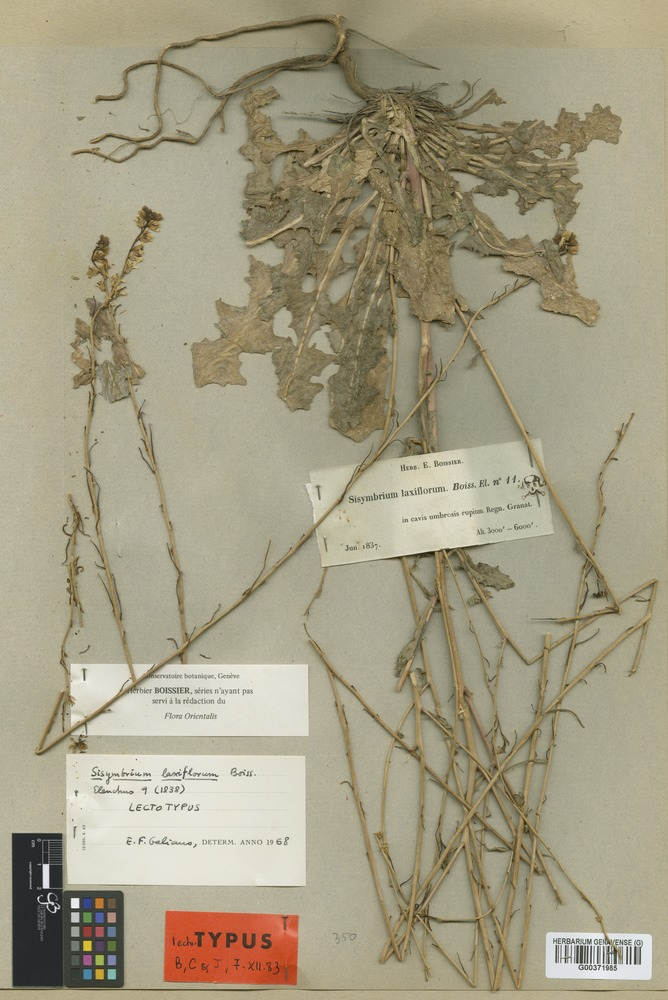 Lectotype of Sisymbrium laxiflorum Boiss. [family CRUCIFERAE]