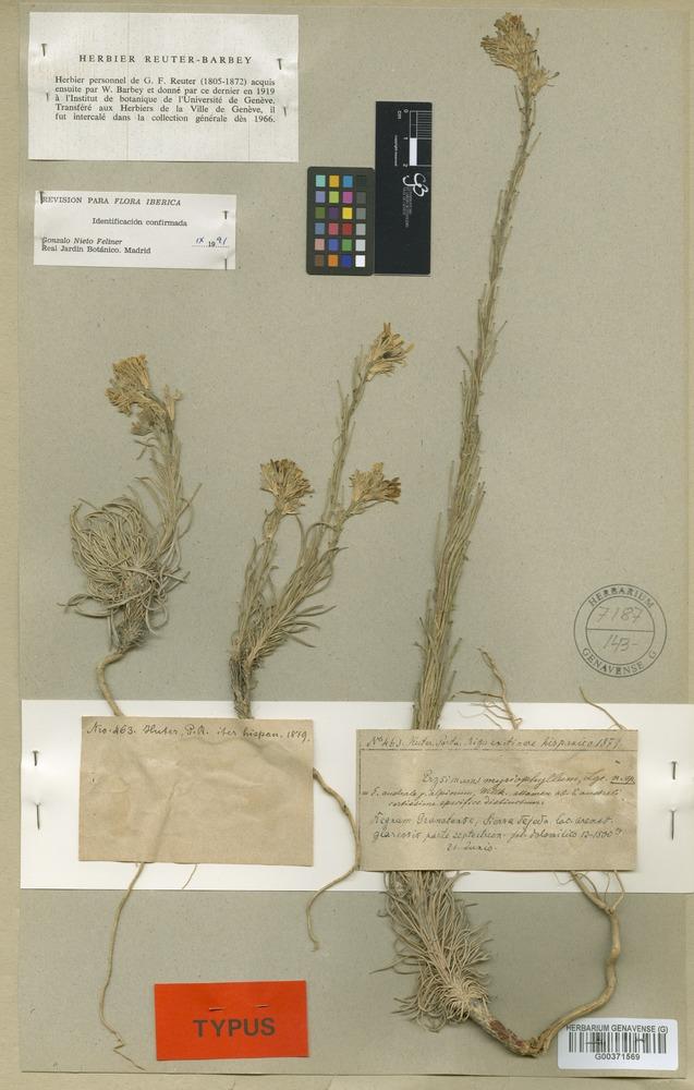 Isotype of Erysimum myriophyllum Lange [family CRUCIFERAE]