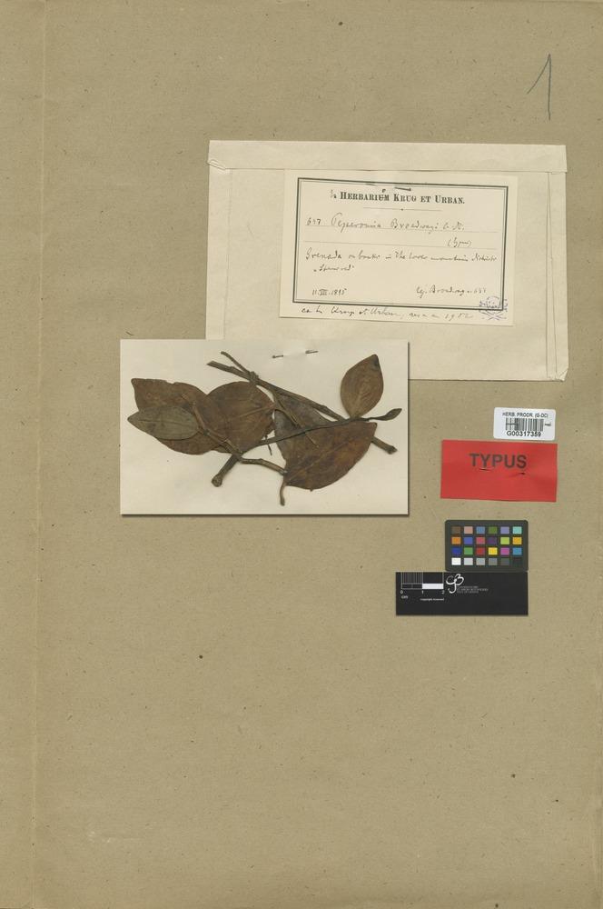 Syntype of Peperomia broadwayi C. DC. [family PIPERACEAE]