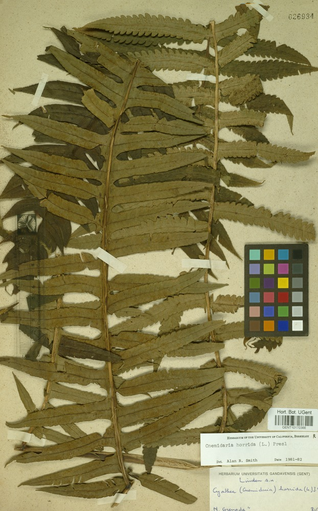 Filed as Cnemidaria horrida (L.) C.Presl [family CYATHEACEAE]