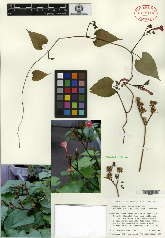 Isotype of Ipomoea praematura Eckenwalder [family CONVOLVULACEAE]