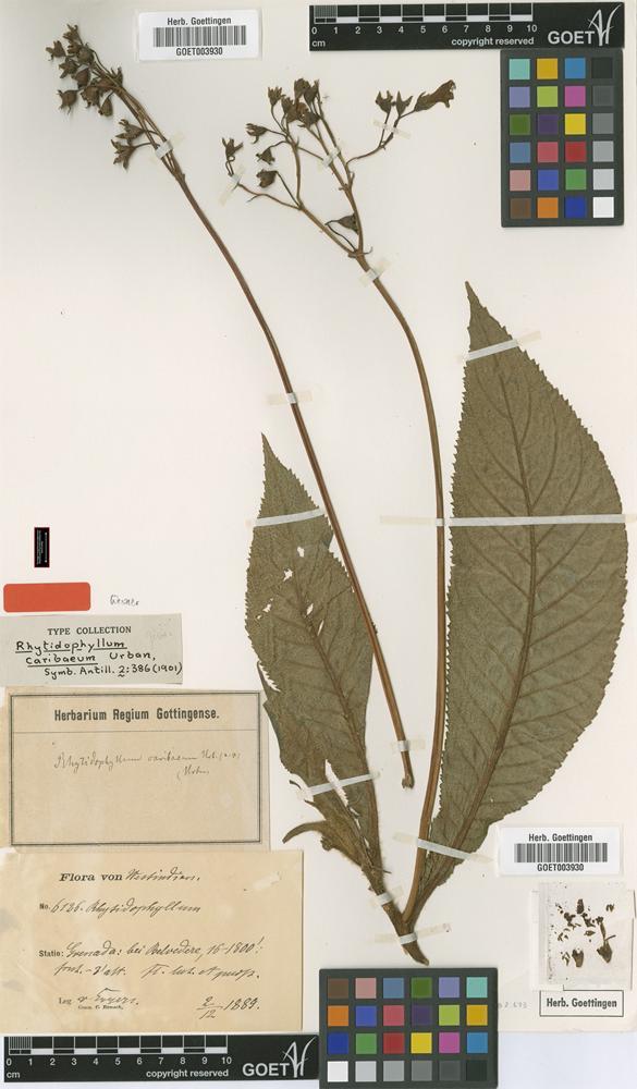 Type of Rhytidophyllum caribaeum Urb. [family GESNERIACEAE]