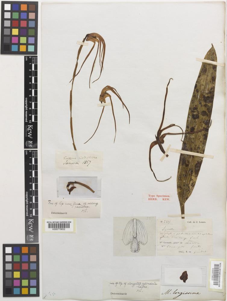 Type of Maxillaria longissima Lindl. [family ORCHIDACEAE]