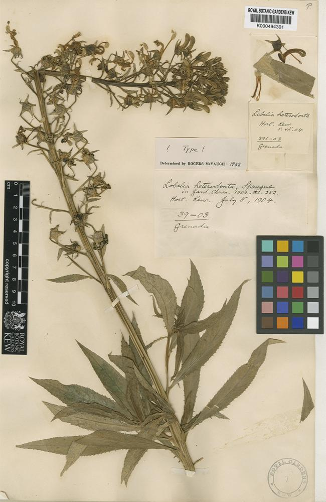 Type of Lobelia heterodonta Sprague [family CAMPANULACEAE]