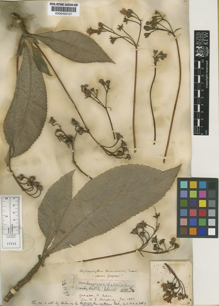 Rhytidophyllum caribaeum Urb. [family GESNERIACEAE]