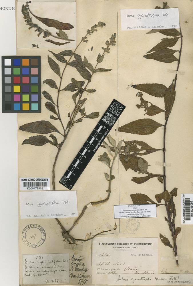 Salvia cyanotropha Epling [family LAMIACEAE]