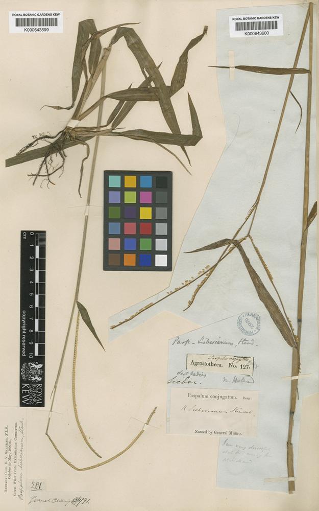 Paspalum conjugatum P.J.Bergius [family POACEAE]