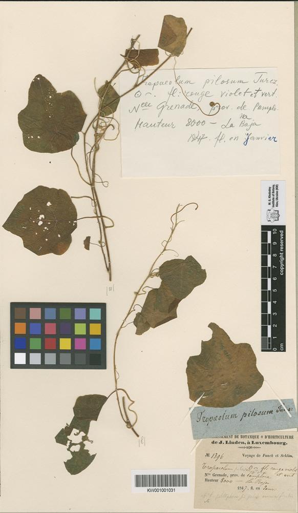 Holotype of Tropaeolum pilosum Turcz. [family TROPAEOLACEAE]