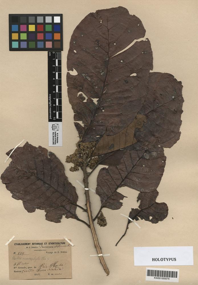 Holotype of Vallea macrophylla Turcz. [family ELAEOCARPACEAE]