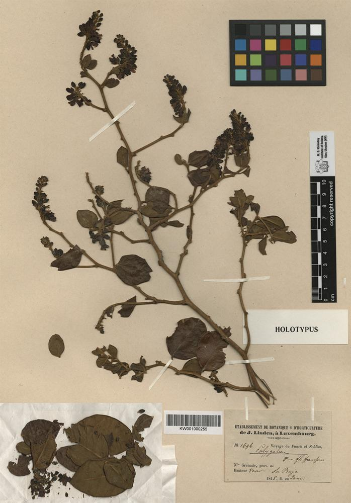 Holotype of Securidaca atropurpurea Turcz. [family POLYGALACEAE]